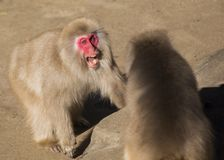 Japanese Macaque Macaca fuscata Stock Images