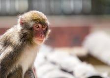 Japanese macaque Macaca fuscata Stock Image