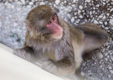 Japanese macaque Macaca fuscata Royalty Free Stock Images