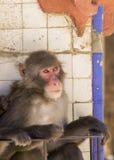 Japanese macaque Macaca fuscata Stock Photo