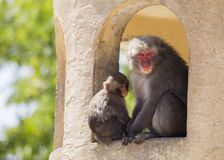 Japanese macaque Macaca fuscata. Spotted outdoors in the wild Stock Photos