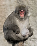 Japanese macaque 5 Royalty Free Stock Photography
