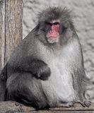 Japanese macaque 6 Royalty Free Stock Photography