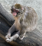 Japanese macaque 9 Royalty Free Stock Image