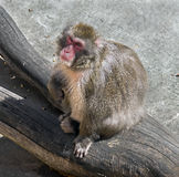 Japanese macaque 10 Stock Photo