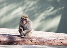 Japanese macaque monkey Stock Photos
