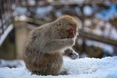 Japanese Macaque Monkey Eats Snow royalty free stock images