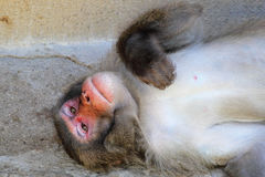 Japanese macaque monkey Royalty Free Stock Photo