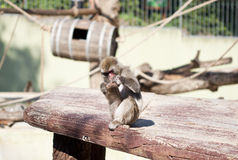 Japanese macaque monkey playing with his own foot Royalty Free Stock Photo