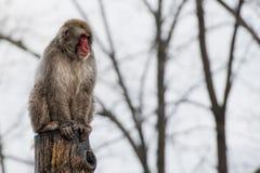 Japanese macaque monkey portrait Royalty Free Stock Image