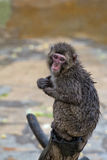 Japanese macaque monkey portrait Stock Photography