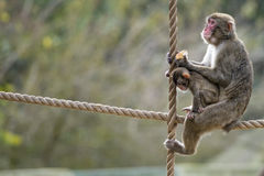 Japanese macaque monkey portrait Royalty Free Stock Images