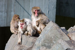 Japanese Macaque Monkey's at the Zoo Royalty Free Stock Photography