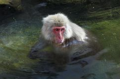 A Japanese Macaque monkeys in hot springs royalty free stock images