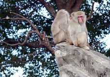 Japanese macaque monkeys in Japan. Japanese macaque, known as snow monkeys live in colder climates in Japan and often visit warm water spa or onsen in the Stock Images