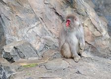 Japanese macaque monkeys in Japan. Japanese macaque, known as snow monkeys live in colder climates in Japan and often visit warm water spa or onsen in the Royalty Free Stock Images