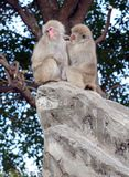 Japanese macaque monkeys in Japan. Japanese macaque, known as snow monkeys live in colder climates in Japan and often visit warm water spa or onsen in the Royalty Free Stock Photos