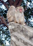 Japanese macaque monkeys in Japan. Japanese macaque, known as snow monkeys live in colder climates in Japan and often visit warm water spa or onsen in the Stock Image