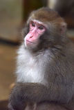 Japanese macaque. The most northern monkey. Zoo Tallinn, Estonia stock image