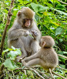Japanese Macaque Mother and Baby. Japanese macaque mother is feeding her little one Royalty Free Stock Photos
