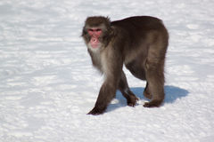 Japanese macaque move through white snow. Macaca fuscata Royalty Free Stock Photo