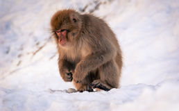 Japanese macaque. Nagano, Japan - March 05, 2015:  Japanese macaque sits amongst the snow at Jigokudani Yaenkoen (snow monkey park Royalty Free Stock Photography