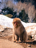 Japanese macaque. Nagano, Japan - March 05, 2015:  Japanese macaque snow monkey sits on the ground at Jigokudani Yaenkoen (snow monkey park Stock Image