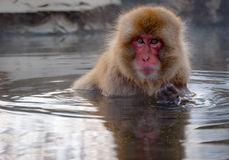 Japanese macaque. Nagano, Japan - March 05, 2015: A snow monkey (Japanese macaque) sits in the hot spring bath at the Jigokudani Yaenkoen (snow monkey park Royalty Free Stock Photos
