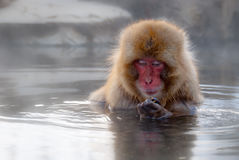 Japanese macaque. Nagano, Japan - March 05, 2015: A snow monkey (Japanese macaque) sits in the hot spring bath at the Jigokudani Yaenkoen (snow monkey park) Stock Photos