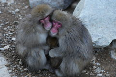 Japanese Macaque in Nagano. The Japanese macaque is a terrestrial Old World monkey species native to Japan. They are also sometimes known as the snow monkey Royalty Free Stock Images