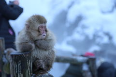 Japanese Macaque in Nagano Royalty Free Stock Photography