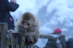 Japanese Macaque in Nagano. The Japanese macaque is a terrestrial Old World monkey species native to Japan. They are also sometimes known as the snow monkey Stock Images