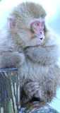 Japanese Macaque in Nagano. The Japanese macaque is a terrestrial Old World monkey species native to Japan. They are also sometimes known as the snow monkey Royalty Free Stock Photos