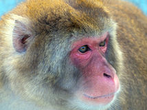 Japanese macaque portrait closeup Royalty Free Stock Images