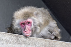 Japanese macaque Royalty Free Stock Photo