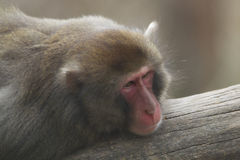 Japanese macaque portrait Royalty Free Stock Photo