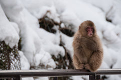 Japanese macaque on railings in Japan. Stock Image