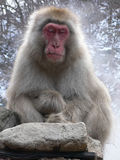 Japanese Macaque relaxing. Japanese Macaque in relaxation pose near natural hot spring with closed eyes Royalty Free Stock Images