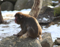 Japanese macaque on rock Royalty Free Stock Photo
