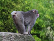 Japanese macaque on rock Stock Photo
