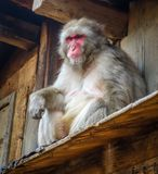 Japanese macaque on a rooftop, watayama monkey park, Kyoto, Japa Stock Photos