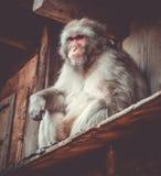 Japanese macaque on a rooftop, watayama monkey park, Kyoto, Japa. Japanese macaque on a rooftop in Iwatayama monkey park, Kyoto, Japan Stock Photo