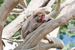 Japanese Macaque. A Japanese macaque sits in the tree Stock Photos