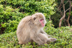 Japanese macaque sitting on bush Royalty Free Stock Photos