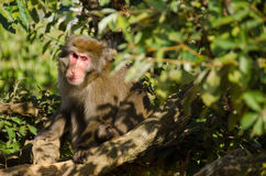 Japanese macaque sitting on the ground Royalty Free Stock Image