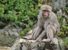 Japanese macaque sitting on rock Stock Photo