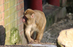 Japanese macaque Stock Photography