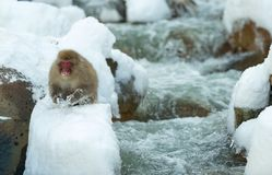 Japanese macaque on the snow royalty free stock photos