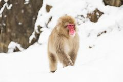 Japanese macaque in snow at jigokudan monkey park royalty free stock images