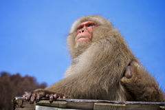 Japanese macaque snow monkey Stock Image